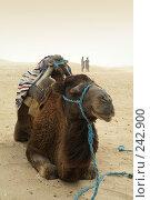 Купить «Верблюд отдыхает в пустыне», фото № 242900, снято 13 июня 2006 г. (c) Ирина Игумнова / Фотобанк Лори