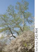 Купить «Пришла весна - цветет тополь серебристый и тёрн», фото № 243464, снято 4 апреля 2008 г. (c) Федор Королевский / Фотобанк Лори