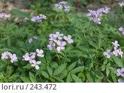 Купить «Первоцвет лесной в начале апреля», фото № 243472, снято 4 апреля 2008 г. (c) Федор Королевский / Фотобанк Лори