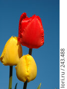 Купить «Три тюльпана», фото № 243488, снято 14 мая 2005 г. (c) Ольга Дроздова / Фотобанк Лори