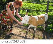 Купить «Молодой теленок со своей хозяйкой ранним утром», фото № 243508, снято 22 июня 2006 г. (c) Евгений Захаров / Фотобанк Лори