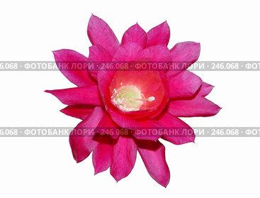 Купить «Цветок Эпифиллума (Epiphyllum)», эксклюзивное фото № 246068, снято 1 апреля 2008 г. (c) Алёшина Оксана / Фотобанк Лори