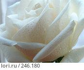 Купить «Белая Роза», фото № 246180, снято 9 марта 2006 г. (c) Мельник Ирина / Фотобанк Лори