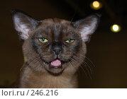 Мяукающий котенок бурма. Стоковое фото, фотограф Akunia-Gerrero N.V. / Фотобанк Лори