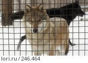 Купить «Волки», фото № 246464, снято 13 декабря 2017 г. (c) Андрей Доронченко / Фотобанк Лори