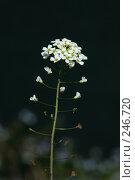 Купить «Белый полевой цветок», фото № 246720, снято 4 апреля 2008 г. (c) Demyanyuk Kateryna / Фотобанк Лори
