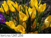 Желтые крокусы, шафран (crocus) Стоковое фото, фотограф Александр Леденев / Фотобанк Лори