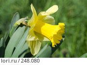 Купить «Нарцисс», фото № 248080, снято 10 апреля 2008 г. (c) Федор Королевский / Фотобанк Лори