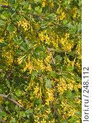 Купить «Цветет смородина золотистая», фото № 248112, снято 10 апреля 2008 г. (c) Федор Королевский / Фотобанк Лори