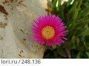 """Купить «Из серии""""Цветы Израиля""""», фото № 248136, снято 27 апреля 2007 г. (c) Борис Ганцелевич / Фотобанк Лори"""