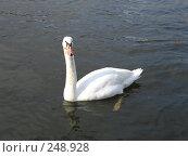 Купить «Белый лебедь на реке», фото № 248928, снято 20 марта 2008 г. (c) Юлия Селезнева / Фотобанк Лори