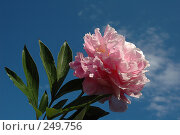 Купить «Розовый пион на фоне неба», фото № 249756, снято 22 июня 2005 г. (c) Ольга Дроздова / Фотобанк Лори