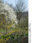 Купить «Цвет алычи и форзиции», фото № 249772, снято 12 апреля 2008 г. (c) Федор Королевский / Фотобанк Лори