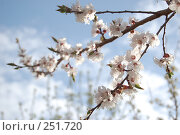 Купить «Цветущий абрикос на фоне неба», фото № 251720, снято 11 апреля 2008 г. (c) Юлия Нечепуренко / Фотобанк Лори