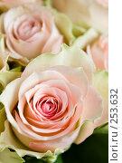 Купить «Розовая роза, крупный план», фото № 253632, снято 8 марта 2008 г. (c) Ольга Хорькова / Фотобанк Лори