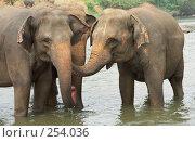 Общение слоников. Стоковое фото, фотограф Шилова Елена / Фотобанк Лори