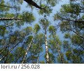 Купить «Весенние берёзы», фото № 256028, снято 12 апреля 2008 г. (c) Карелин Д.А. / Фотобанк Лори