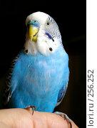 Купить «Голубой волнистый попугай», фото № 256252, снято 19 апреля 2008 г. (c) RedTC / Фотобанк Лори