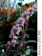 Купить «Соцветие клопогона ветвистого (цимицифуга) с розовыми цветками в осеннем саду, сорт 'Bгunette'», фото № 257300, снято 17 сентября 2006 г. (c) Ольга Дроздова / Фотобанк Лори
