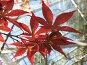 Листья японского клена, фото № 261576, снято 12 апреля 2008 г. (c) Заноза-Ру / Фотобанк Лори