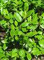 Зеленые листочки, фото № 262196, снято 22 апреля 2008 г. (c) Мария Коробкина / Фотобанк Лори