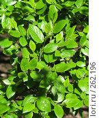 Купить «Зеленые листочки», фото № 262196, снято 22 апреля 2008 г. (c) Мария Коробкина / Фотобанк Лори