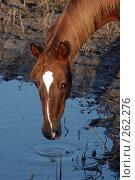 Купить «Голова коня, склонившегося на водопое», фото № 262276, снято 6 ноября 2004 г. (c) Виктор Филиппович Погонцев / Фотобанк Лори