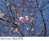 Купить «Цветущая сакура», фото № 262876, снято 15 марта 2008 г. (c) Юлия Подгорная / Фотобанк Лори