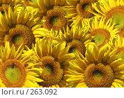 Купить «Коллаж - поле подсолнечников», иллюстрация № 263092 (c) Лукиянова Наталья / Фотобанк Лори