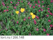 Желтые и розовые тюльпаны. Стоковое фото, фотограф Карасева Екатерина Олеговна / Фотобанк Лори