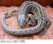 Купить «Ящерица», фото № 267396, снято 28 апреля 2008 г. (c) Олег Хархан / Фотобанк Лори