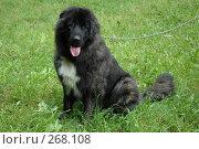 Купить «Кавказская овчарка», фото № 268108, снято 5 августа 2006 г. (c) Ольга Дроздова / Фотобанк Лори