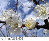 Купить «Цветущая ветка абрикоса», фото № 268408, снято 12 апреля 2008 г. (c) Вячеслав Паслёнов / Фотобанк Лори