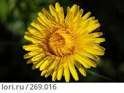 Купить «Одуванчик желтый (Taraxacum), макро», фото № 269016, снято 30 апреля 2008 г. (c) Алёшина Оксана / Фотобанк Лори