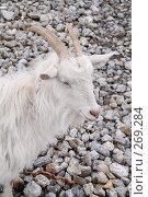 Купить «Любопытная коза на горе из щебенки», фото № 269284, снято 2 мая 2008 г. (c) Архипова Мария / Фотобанк Лори