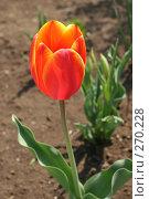 Купить «Желто-красный тюльпан», фото № 270228, снято 1 мая 2006 г. (c) Сергей Осипов / Фотобанк Лори
