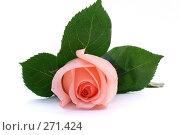 Купить «Красивая розовая роза», фото № 271424, снято 10 января 2008 г. (c) Вероника Галкина / Фотобанк Лори
