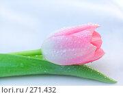 Купить «Красивый тюльпан с капельками росы на бутоне», фото № 271432, снято 1 марта 2008 г. (c) Вероника Галкина / Фотобанк Лори