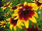 Рудбекия гибридная желтая с красным центром - Rudbeckia x hibrida, фото № 272424, снято 11 августа 2007 г. (c) Беляева Наталья / Фотобанк Лори