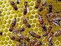 Пчелиная матка, фото № 273328, снято 12 июля 2007 г. (c) Андрей Давиденко / Фотобанк Лори