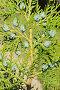 Веточка туи с шишками - молодыми плодами, фото № 273540, снято 30 марта 2007 г. (c) Федор Королевский / Фотобанк Лори