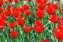Красные тюльпаны, фото № 273576, снято 1 мая 2008 г. (c) Минаев С.Г. / Фотобанк Лори