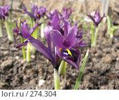 Купить «Иридодиктиум сетчатый - Iridodictium reticulatum», фото № 274304, снято 5 мая 2007 г. (c) Беляева Наталья / Фотобанк Лори