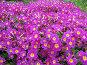 Примула сиреневая - Primula, фото № 274476, снято 26 мая 2007 г. (c) Беляева Наталья / Фотобанк Лори