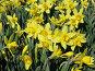 Нарцисс крупнокорончатый желтый - Narcissus, фото № 274552, снято 20 мая 2006 г. (c) Беляева Наталья / Фотобанк Лори