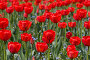 Тюльпаны, фото № 274732, снято 29 апреля 2005 г. (c) Кравецкий Геннадий / Фотобанк Лори