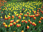 Красно-желтые тюльпаны, фото № 277672, снято 5 мая 2008 г. (c) Ольга Смоленкова / Фотобанк Лори