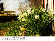 Куст нарциссов, фото № 277700, снято 30 апреля 2008 г. (c) Евгений Захаров / Фотобанк Лори