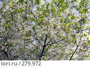 Купить «Вишня в цвету», фото № 279972, снято 2 мая 2008 г. (c) Вячеслав Потапов / Фотобанк Лори
