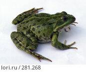 Купить «Лягушка озерная (Rana ridibunda)», фото № 281268, снято 17 июля 2007 г. (c) Максим Рыжов / Фотобанк Лори